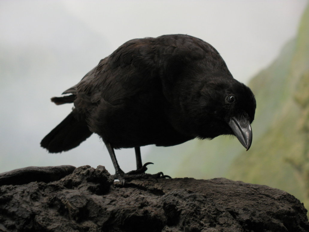 [Image: curious_crow_by_solarka_stock2.jpg]